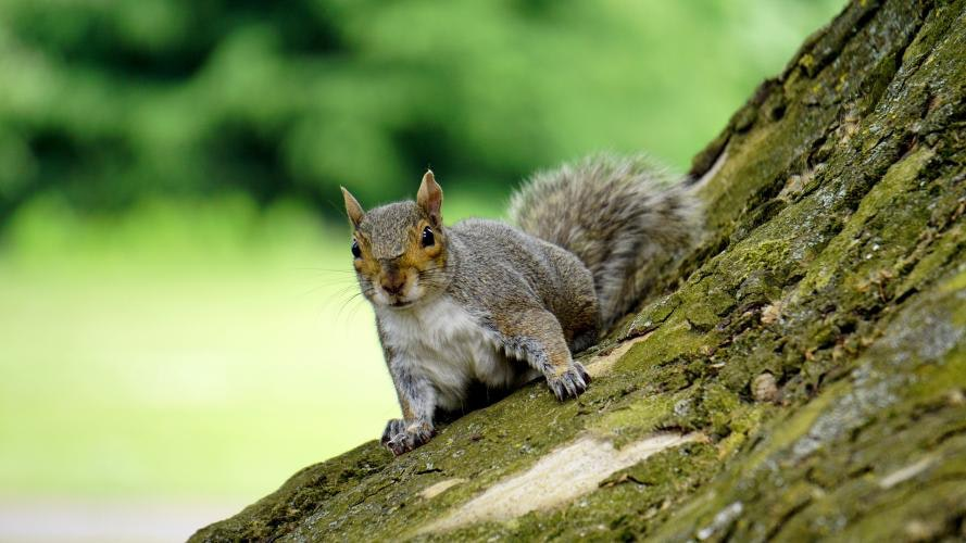 Gray-colored squirrel on the side of a tree, facing the camera
