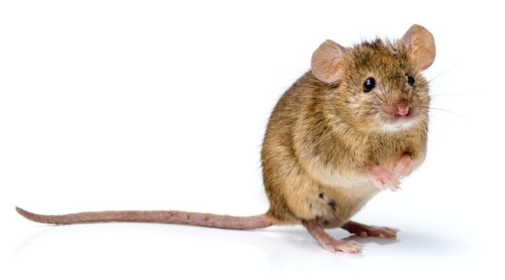 Front view of a house mouse standing on its rear legs. The mouse has a light brown body, with pink ears and feet.  Its tail is long and hairless.