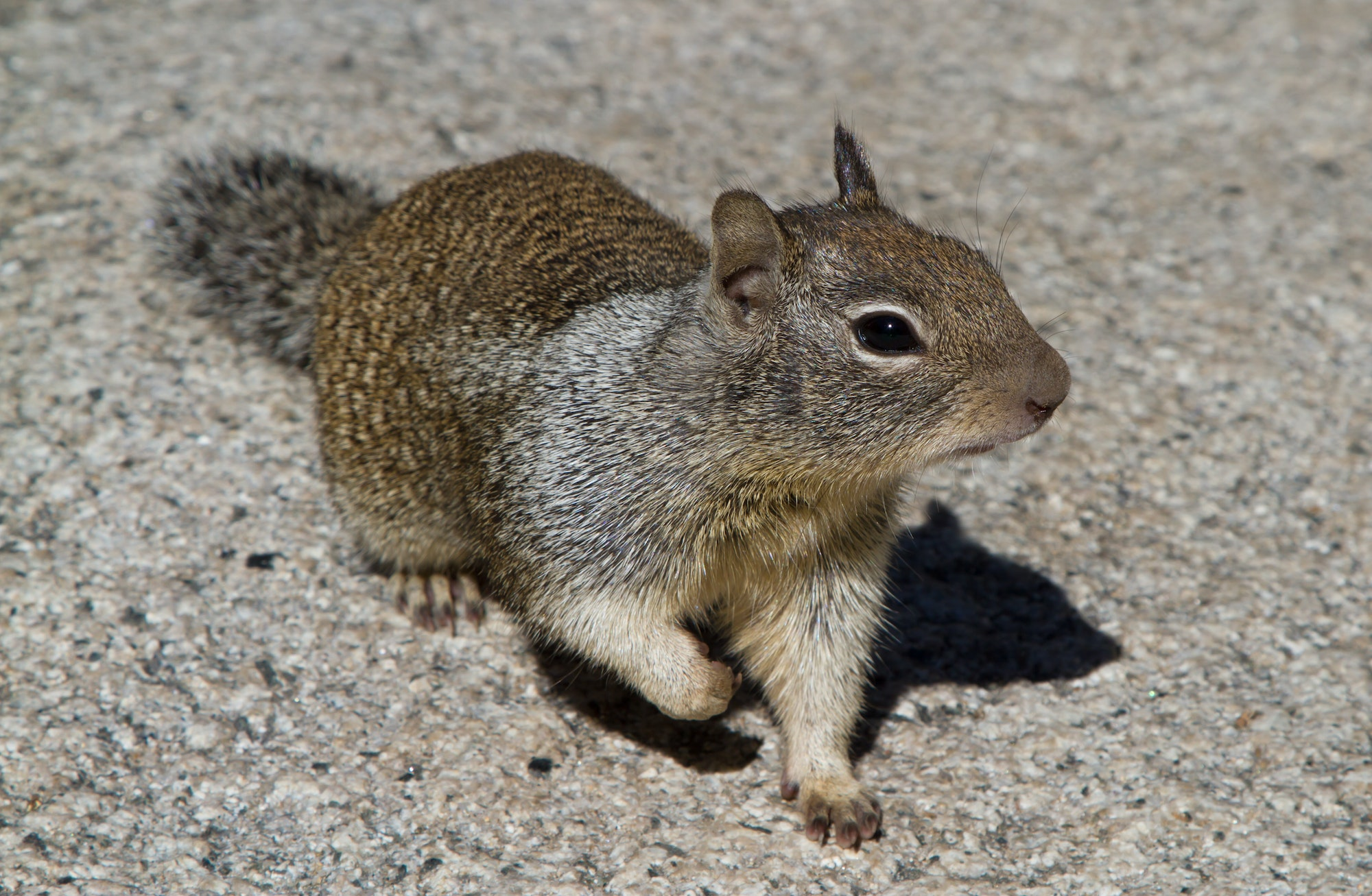 Front view of a California ground squirrel, which has a mottled brown and light brown coat of fur on its body. It has a bushy grey tail (but not as bushy as a tree squirrel).