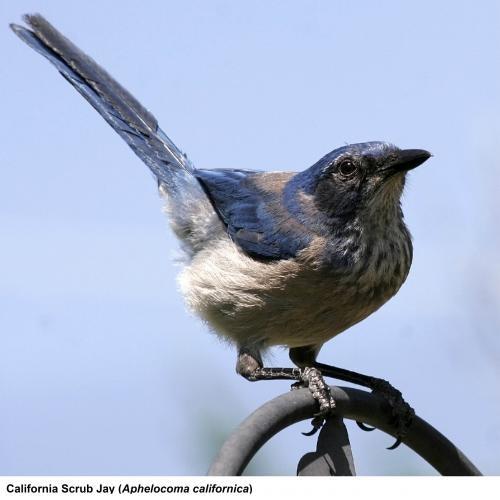 May contain: jay, bird, animal, and blue jay