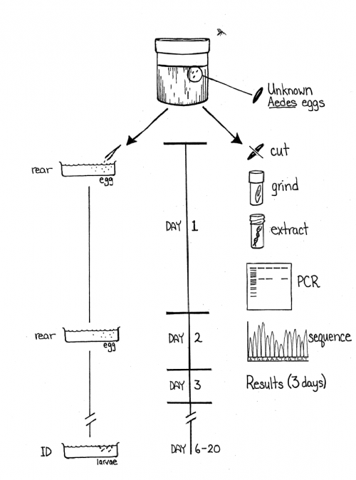 Diagram outling the process from eggs to testing.  The first step is finding unknown mosquito eggs, next the eggs are cut and ground up, then the DNA is extracted from the eggs, and the DNA is subjected to PCR.  The results are a DNA sequence that can be compared to determine the species of mosquito that laid the eggs.