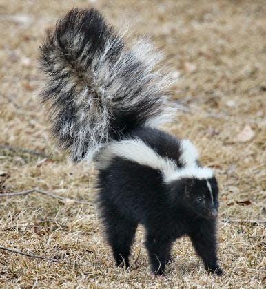 May contain: wildlife, animal, mammal, and skunk