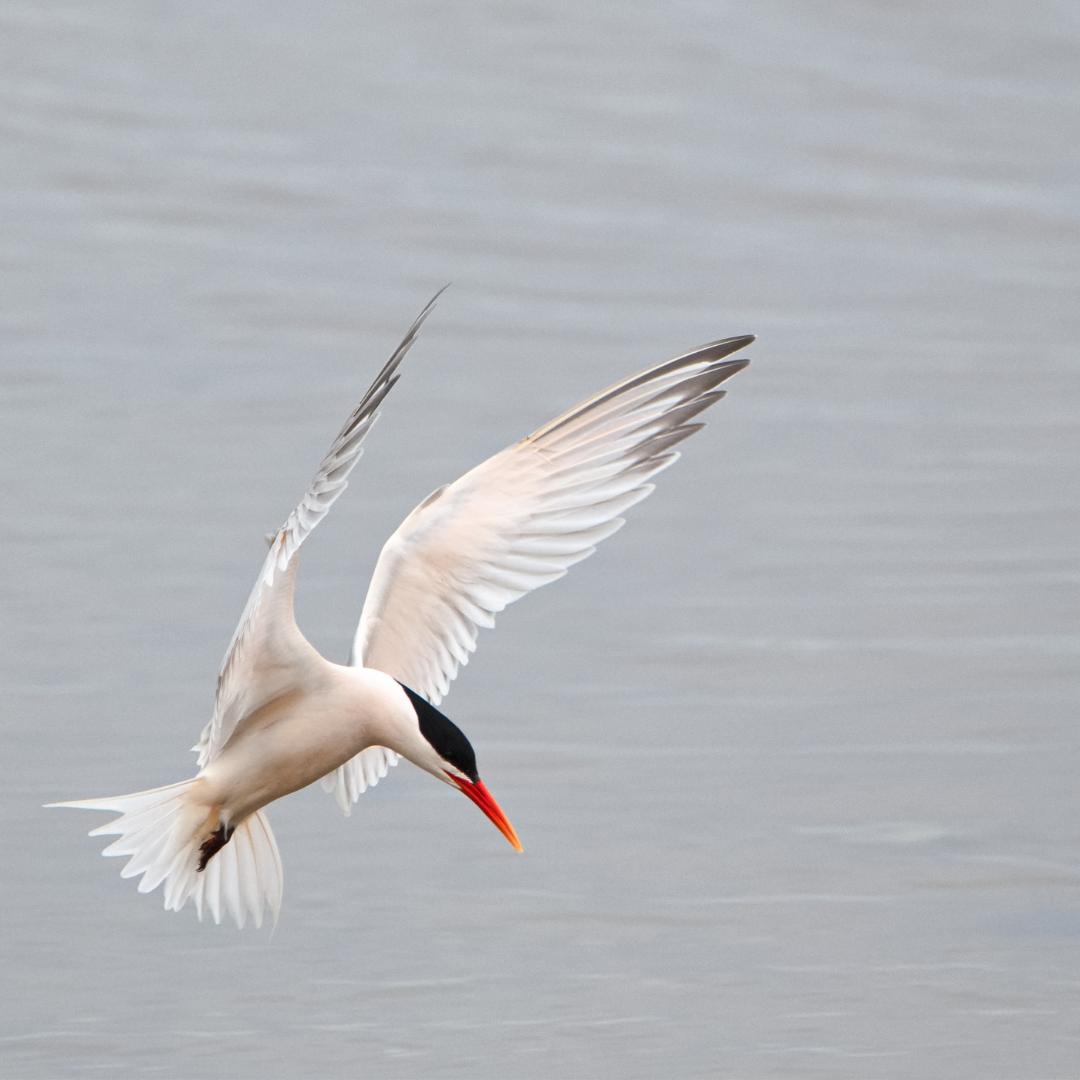 May contain: bird, animal, flying, waterfowl, heron, ardeidae, and egret