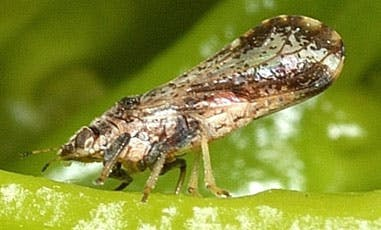 May contain: insect, asian citrus psyllid, animal, invertebrate, and grasshoper