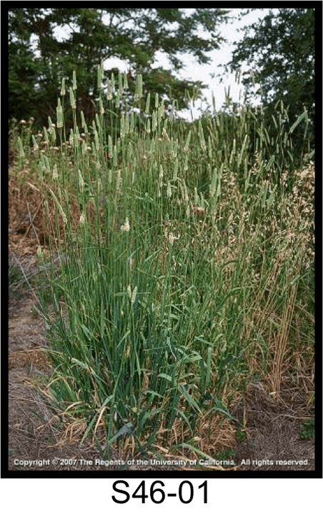 May contain: grass, plant, bush, vegetation, lawn, and agropyron