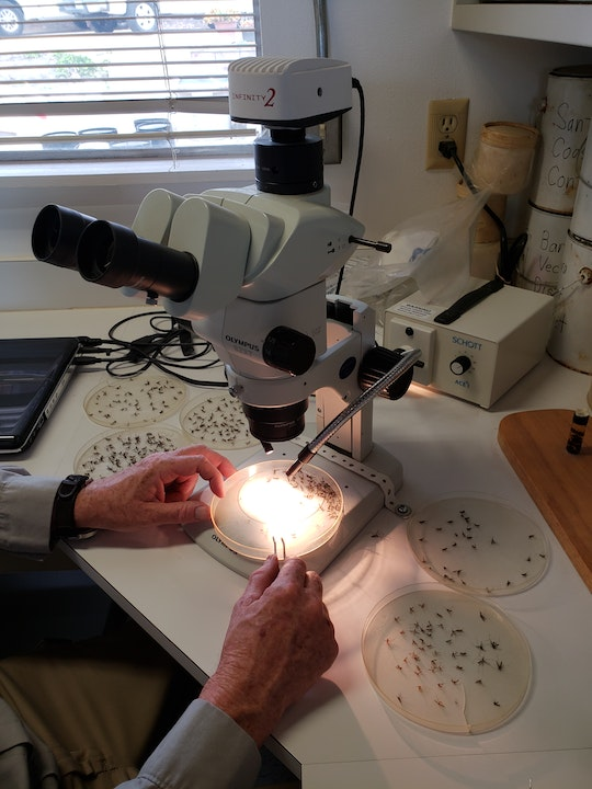 Sorting mosquitoes under a microscope