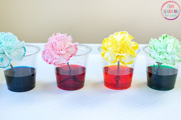 Carnations in colored water