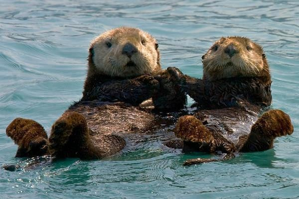 Two otters floating on their backs, looks like they are holding hands