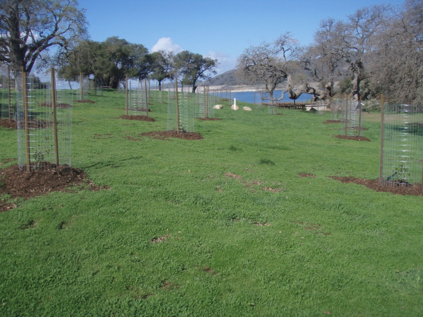 Cachuma Park - Oak Tree Planting