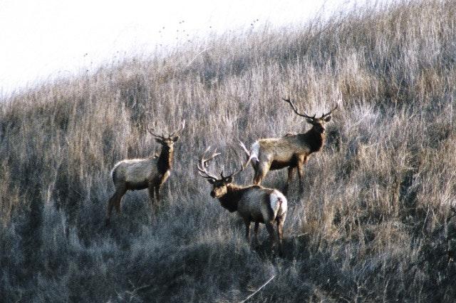 May contain: elk, animal, mammal, wildlife, deer, and antelope