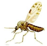 Image of a midge