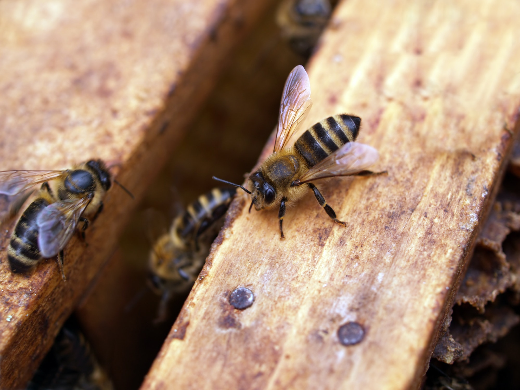 May contain: invertebrate, animal, bee, honey bee, insect, apidae, hornet, wasp, and andrena