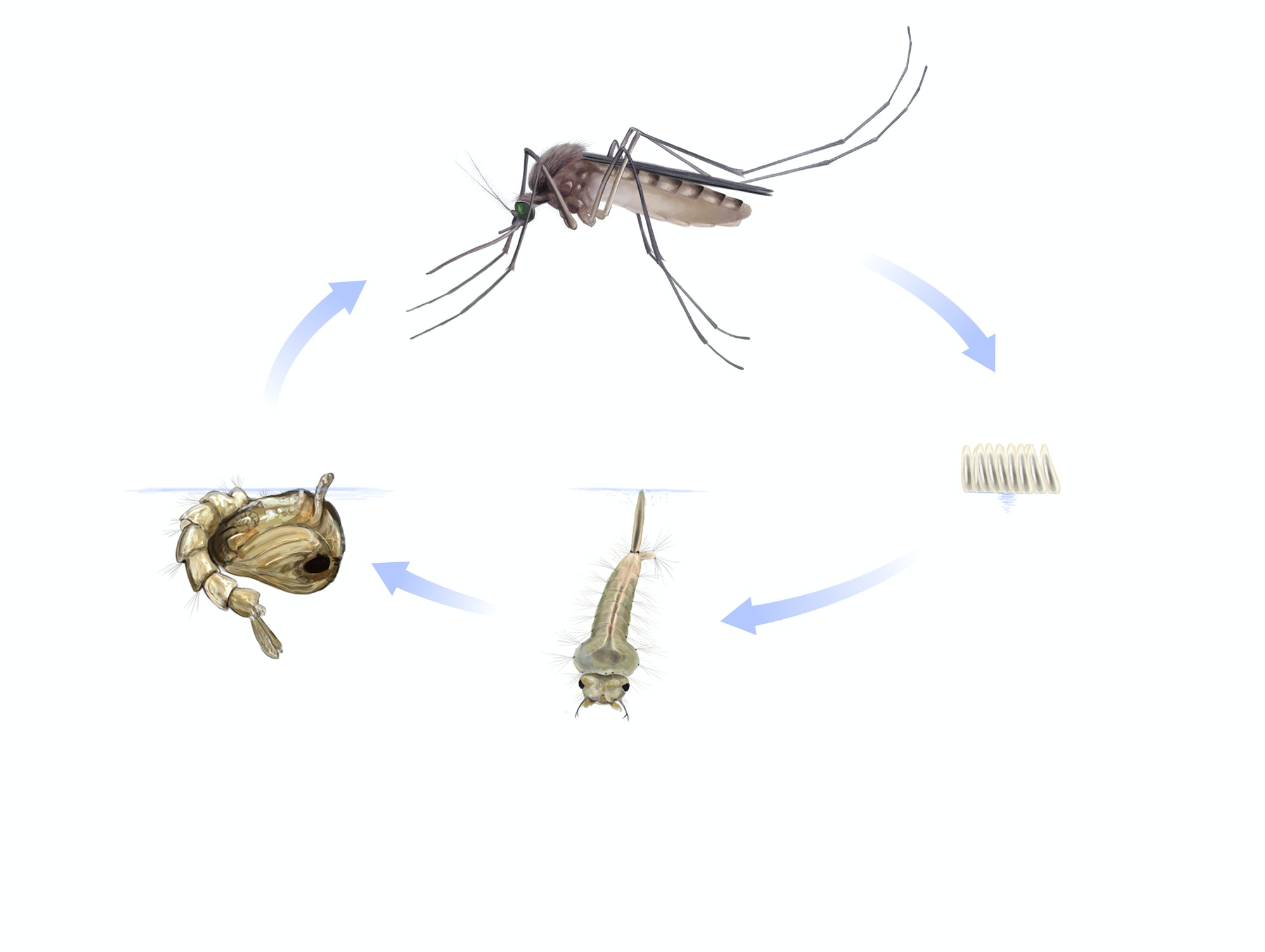 Image of the life-cycle of a mosquito from egg to adult