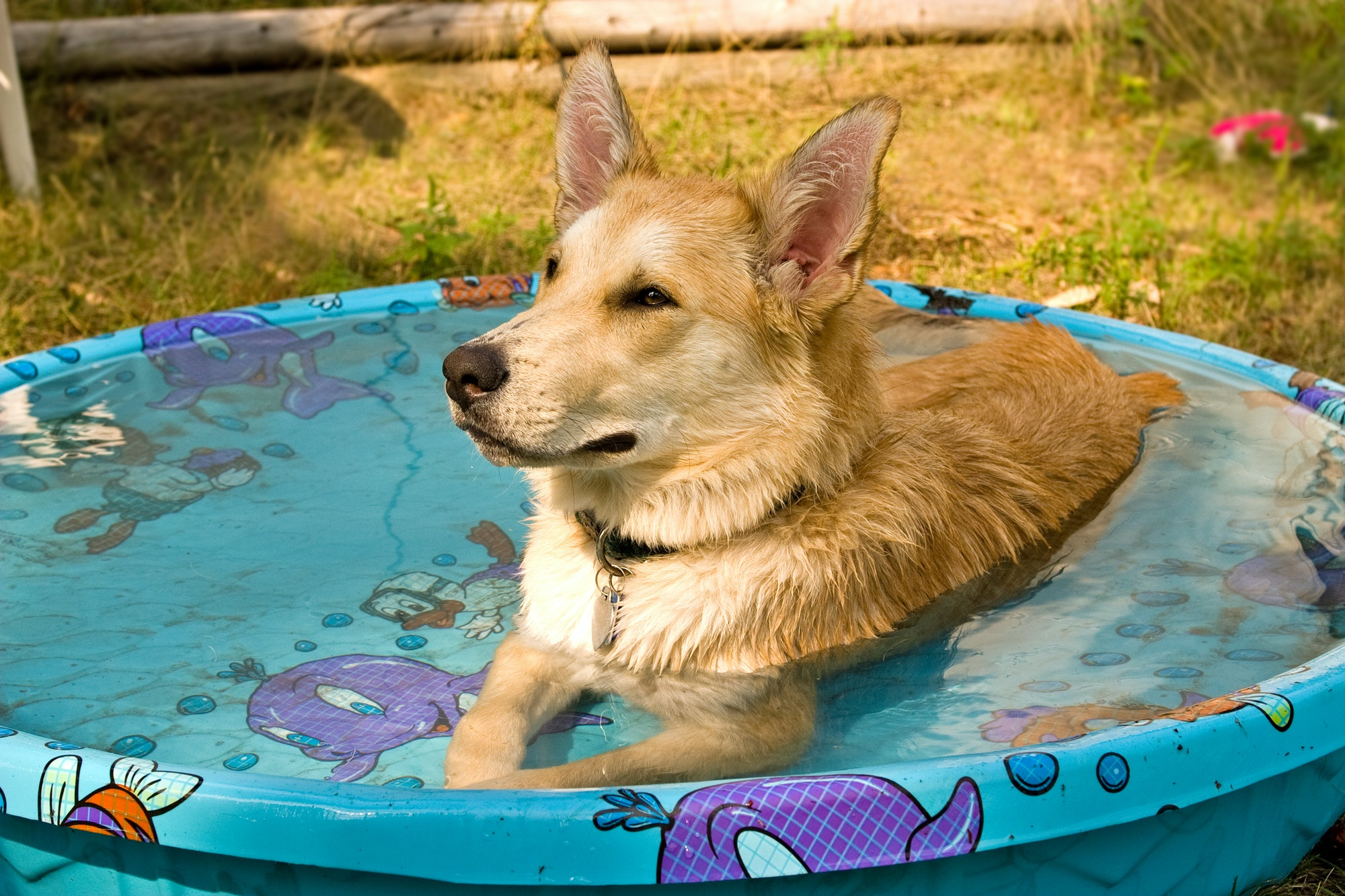 Dog in kiddie pool that is holding standing water