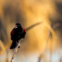 May contain: blackbird, bird, agelaius, and animal
