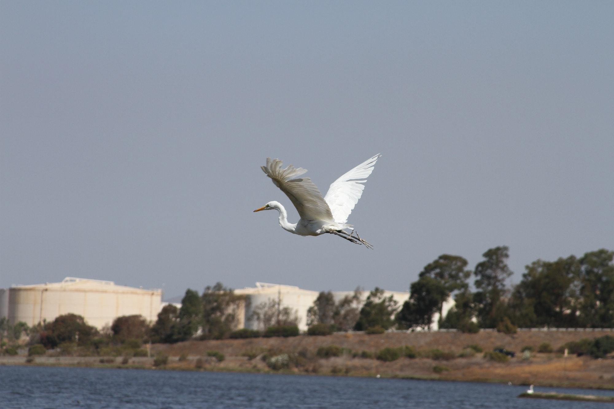 May contain: bird, animal, waterfowl, egret, heron, and ardeidae