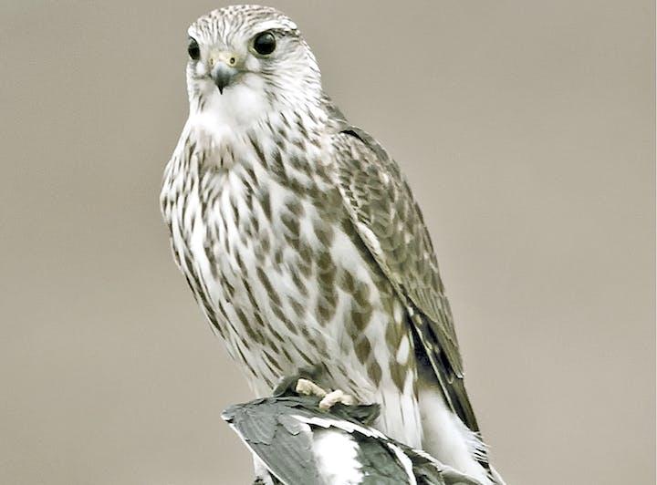 May contain: bird, animal, hawk, buzzard, and accipiter
