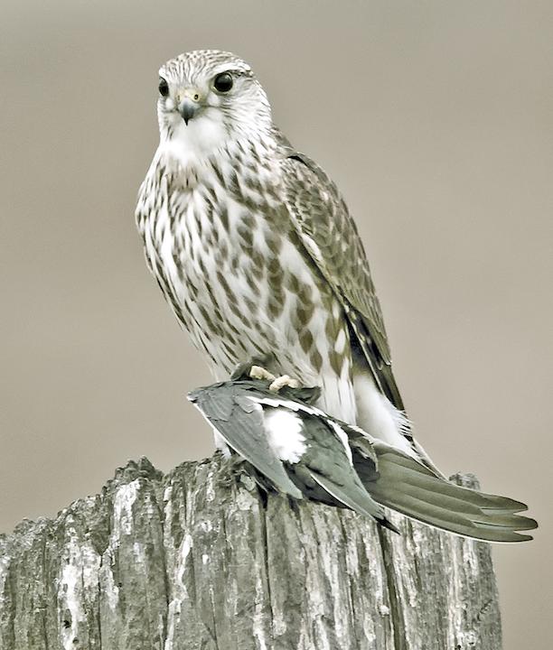 May contain: animal, bird, hawk, buzzard, and accipiter