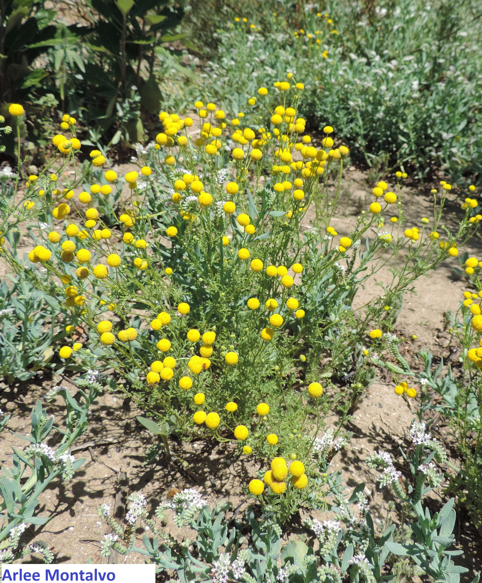 Stinknet (Oncosiphon piluliferum) plant