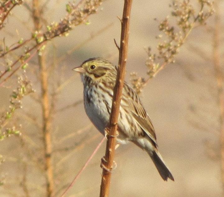 Perched Savannah Sparrow
