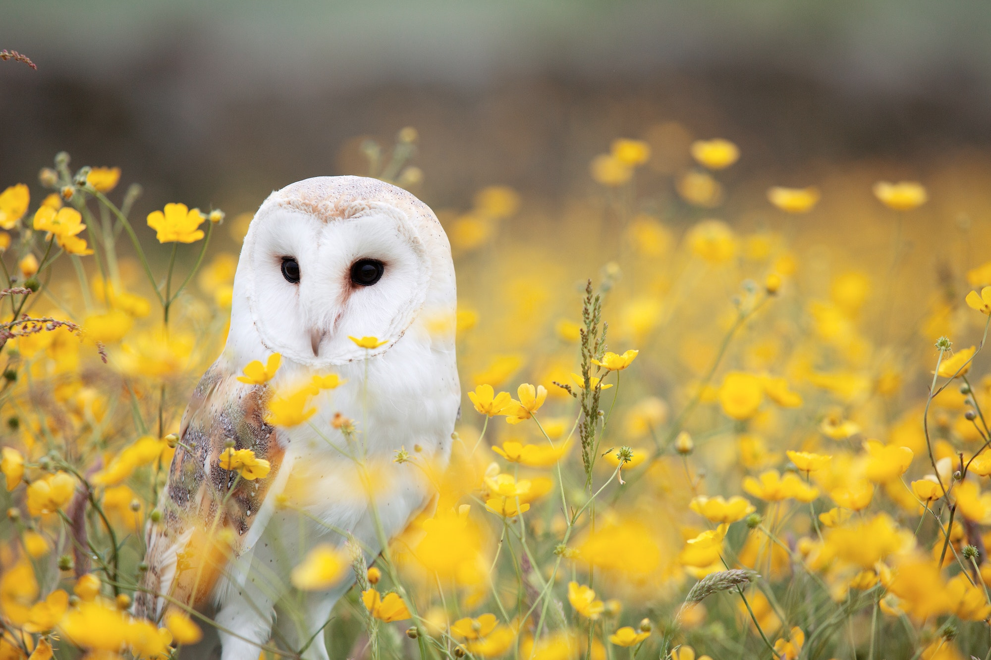 May contain: barn owl in a field of yellow flowers