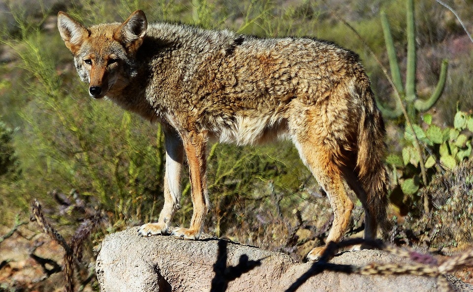 Picture of coyote.