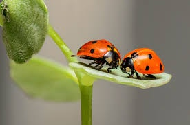 Two ladybugs on a leaf