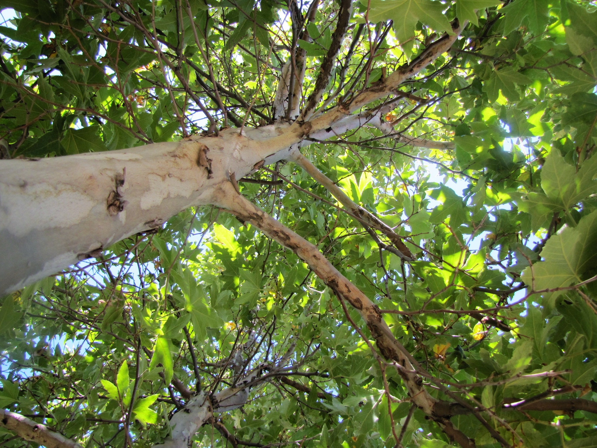 Upward view of sycamore tree
