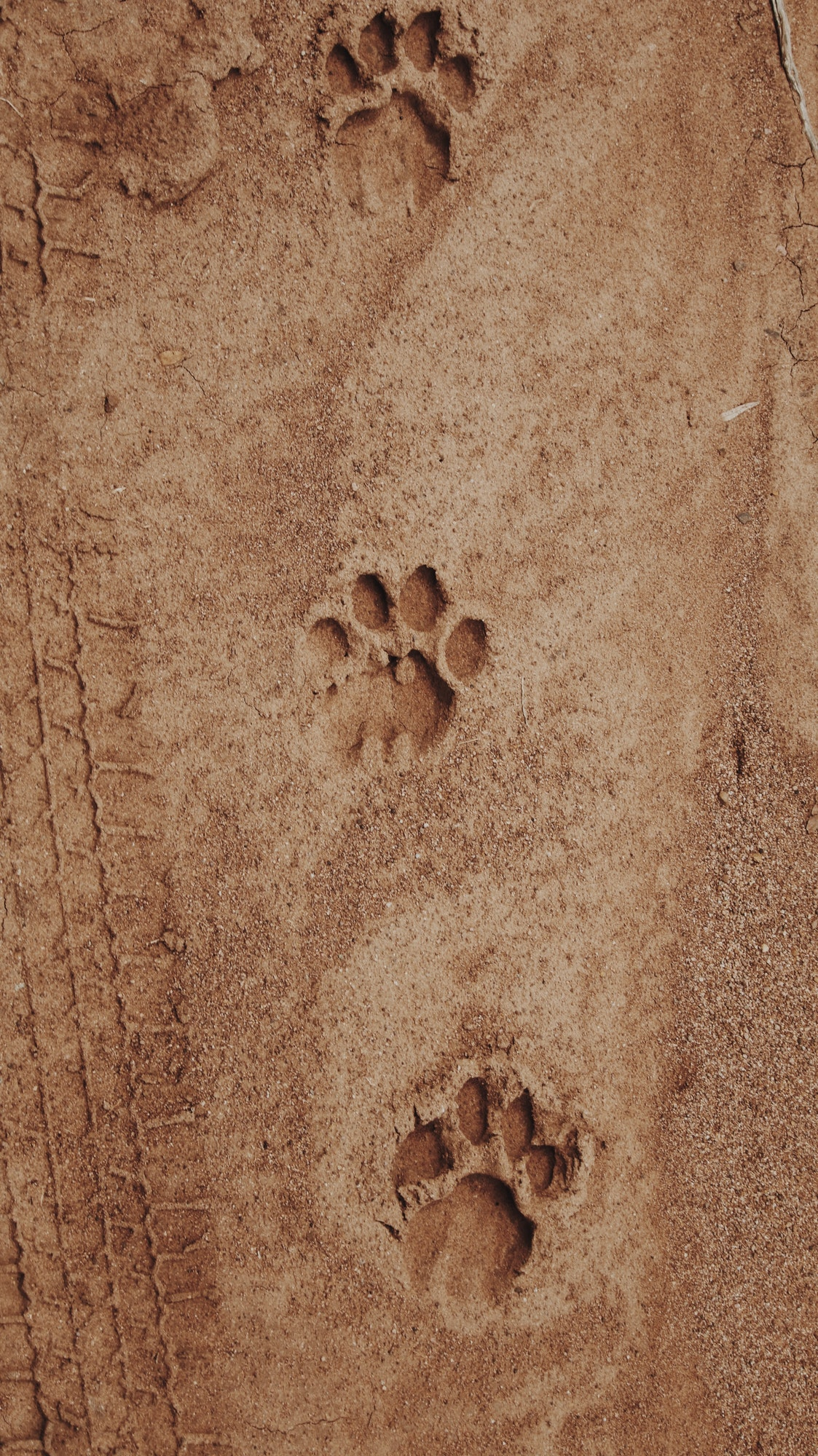 Animal tracks in mud