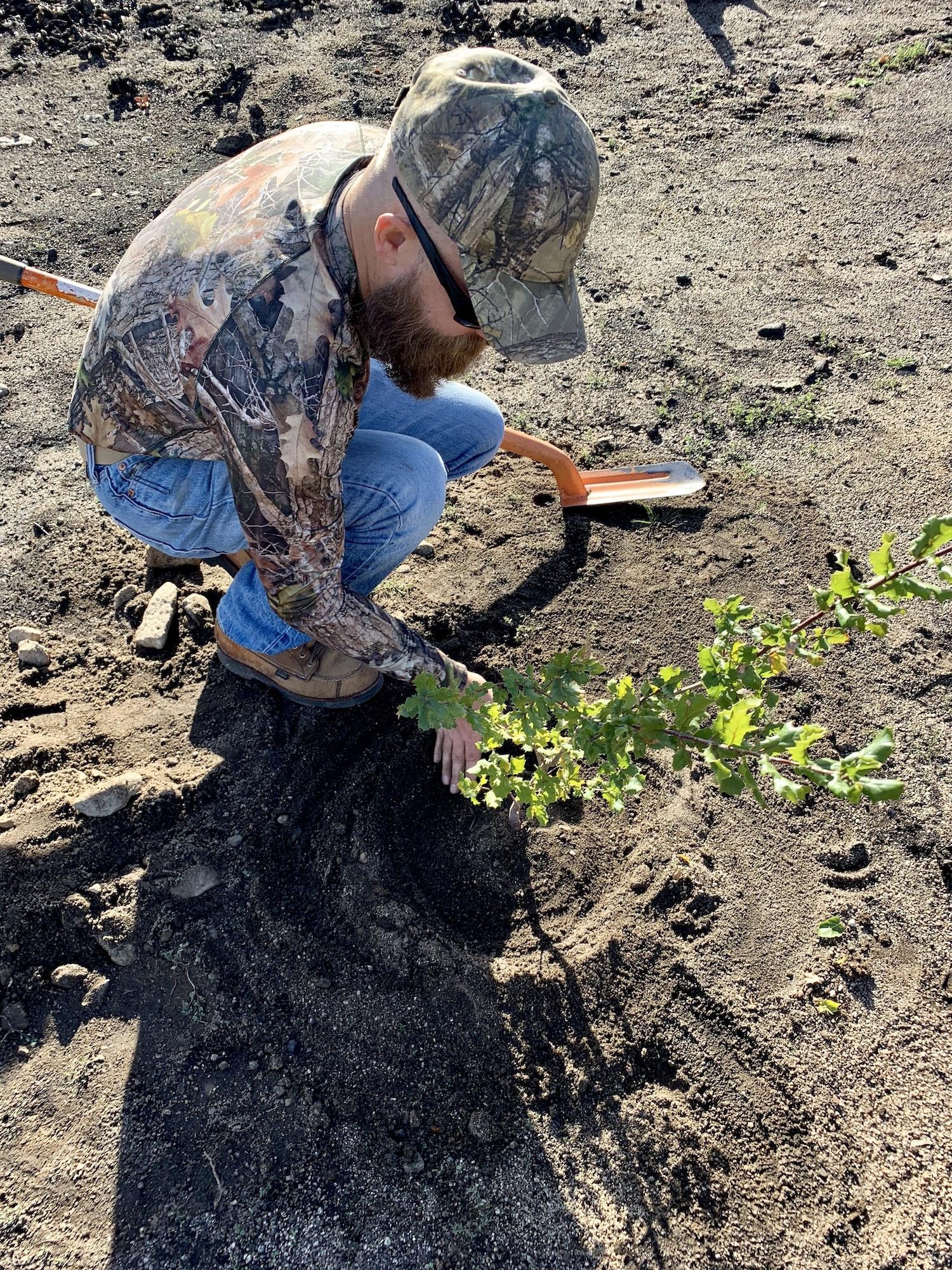 Oak restoration planting