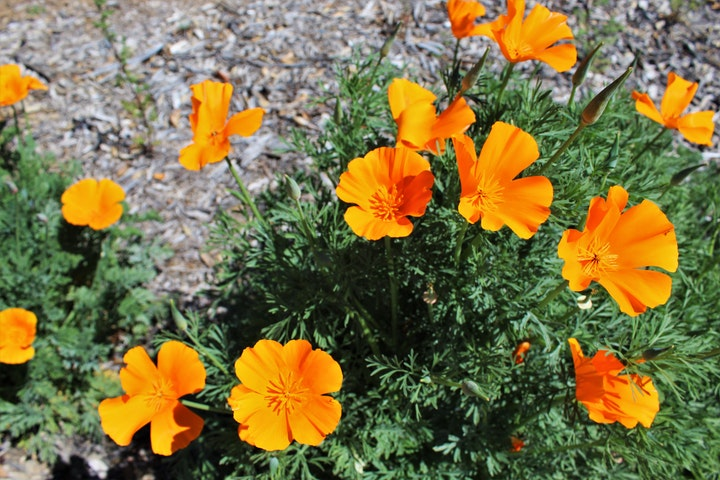 Image of orange poppy flowers.