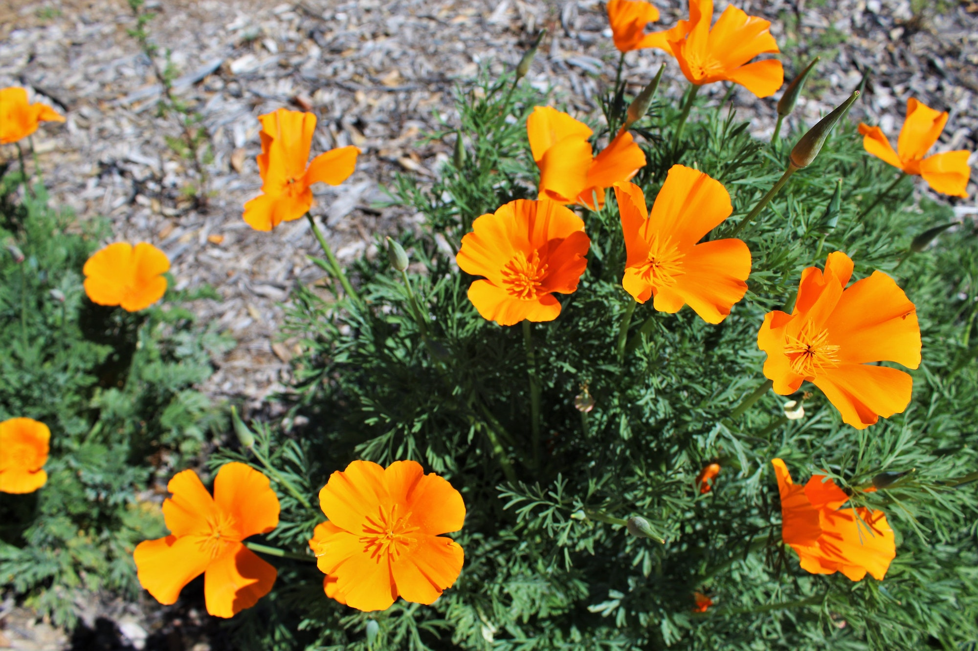 Image of orange poppy flowers.