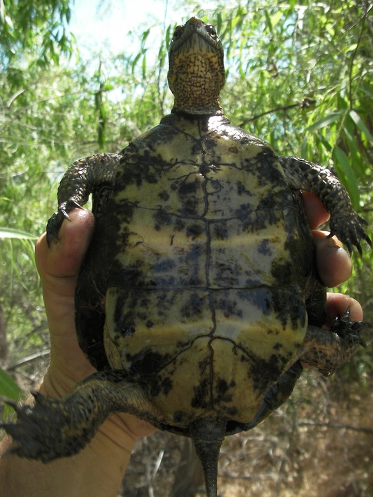 Image of a Western Pond Turtle being held up by a field biologist.