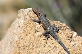 Lizard basking in the sun on a rock.