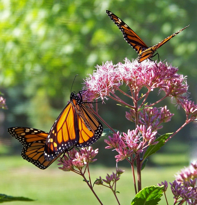 Monarch butterflies getting nectar from pink flowers.