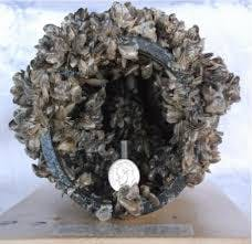 Invasive Quagga Mussels obstructing flow in a pipe.