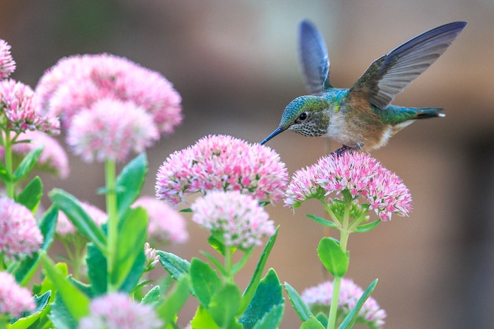May contain: a hummingbird drinking nectar from flowers