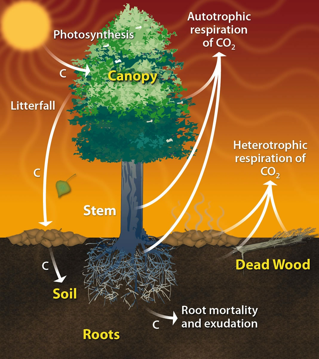 Carbon Cycle of a Tree