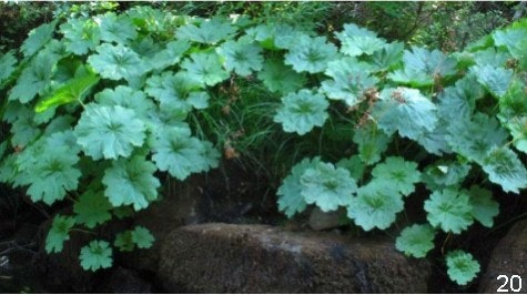 Tauhindauli Park native Indian Rhubarb, also called Umbrella Plant or Elephant Ears along river.