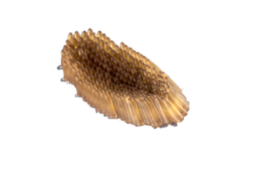 May contain: tool, brush, sea life, animal, seashell, clam, and invertebrate