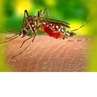 mosquito biting someone