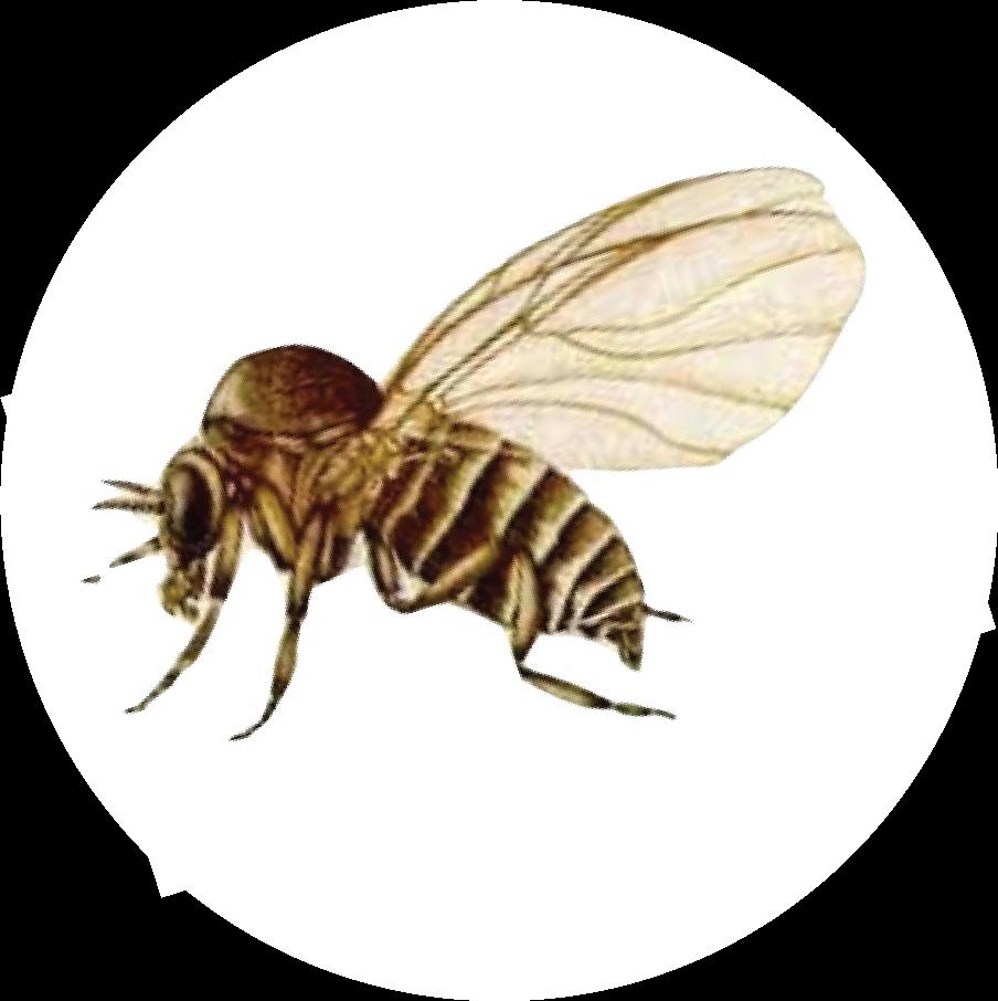Black Flies San Gabriel Valley Mosquito Amp Vector Control