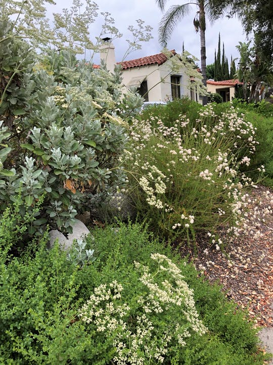 california native plants reduce over-irrigation, stagnant water, and mosquitoes!