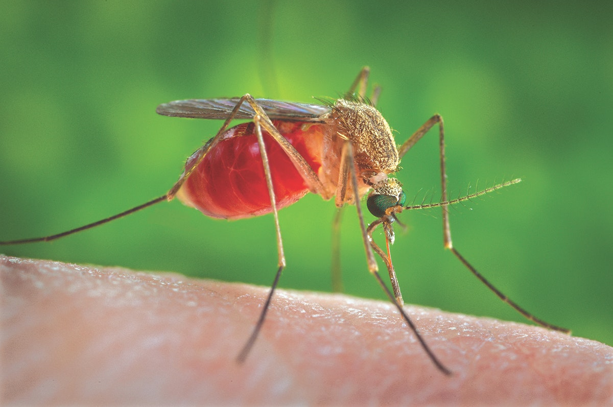 Blood feed of a Culex female mosquito, infamous transmitters of West Nile Virus