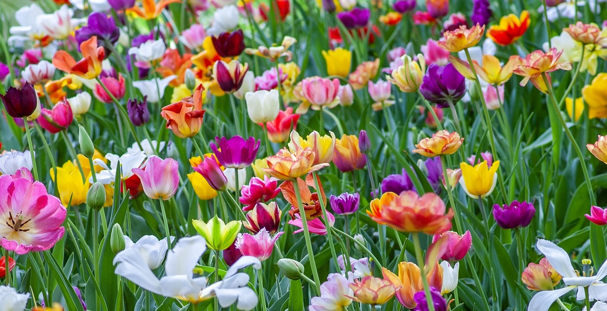 May contain: plant, flower, blossom, and tulip