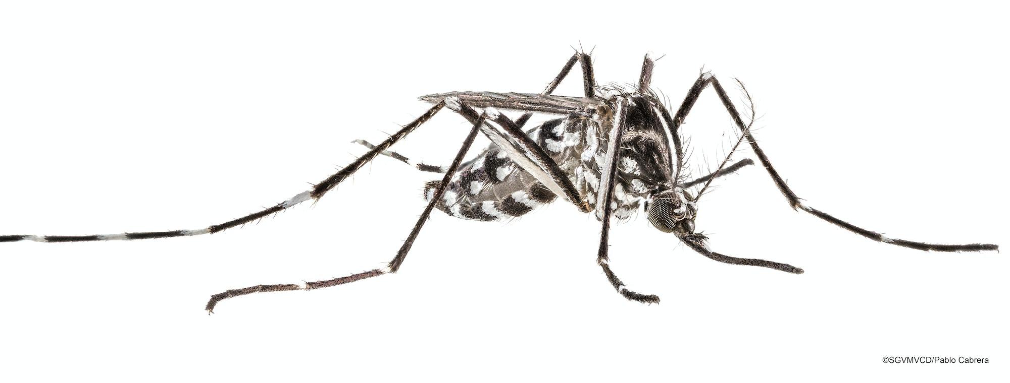 Aedes mosquito